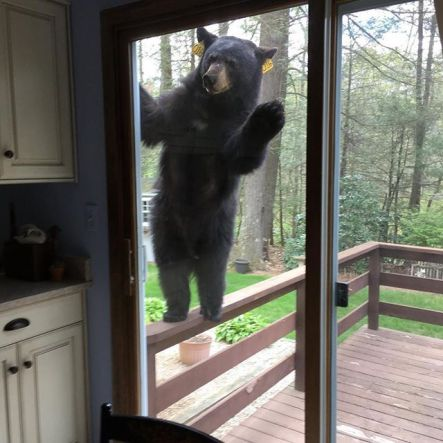 Bear knocking
